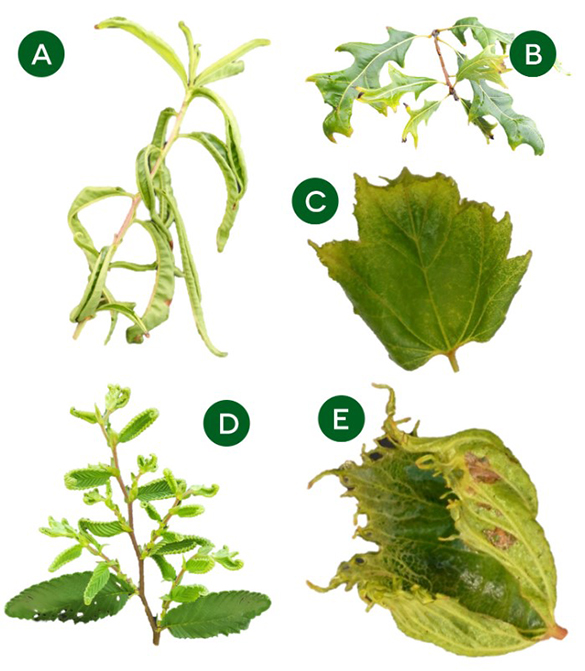 Dicamba leaf results