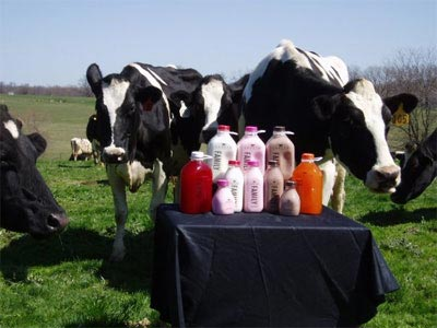 Cows in a field standing behind a table laden with bottles of milk