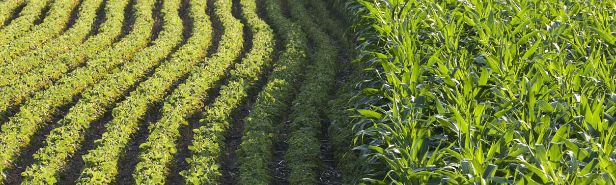Soybeans and corn growing side by side