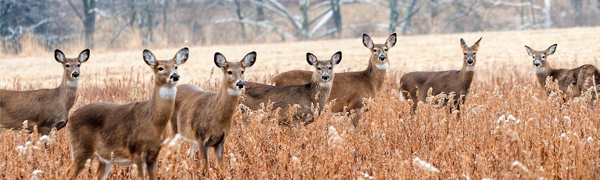 Herd of white-tailed deer