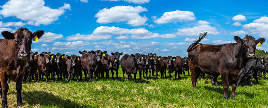 Herd of black angus cattle in a field