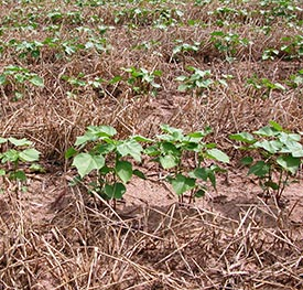 Sand surrounding cotton plants in field