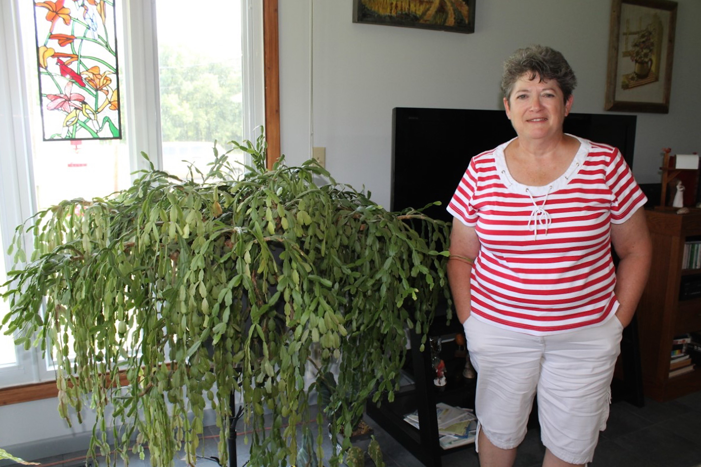 MU Extension Master Gardener Earlene Britton of Versailles has a Christmas cactus that is 4 feet tall and 5 feet wide.