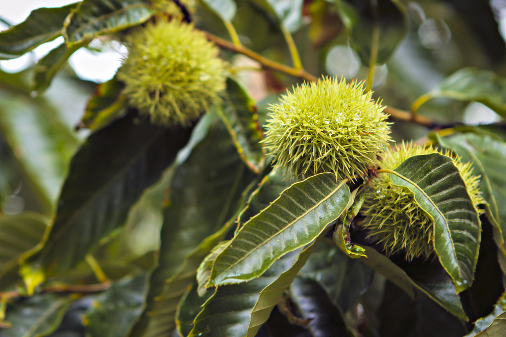 Chestnut pods growing on trees at the MU Horticulture and Agroforestry Research Center
