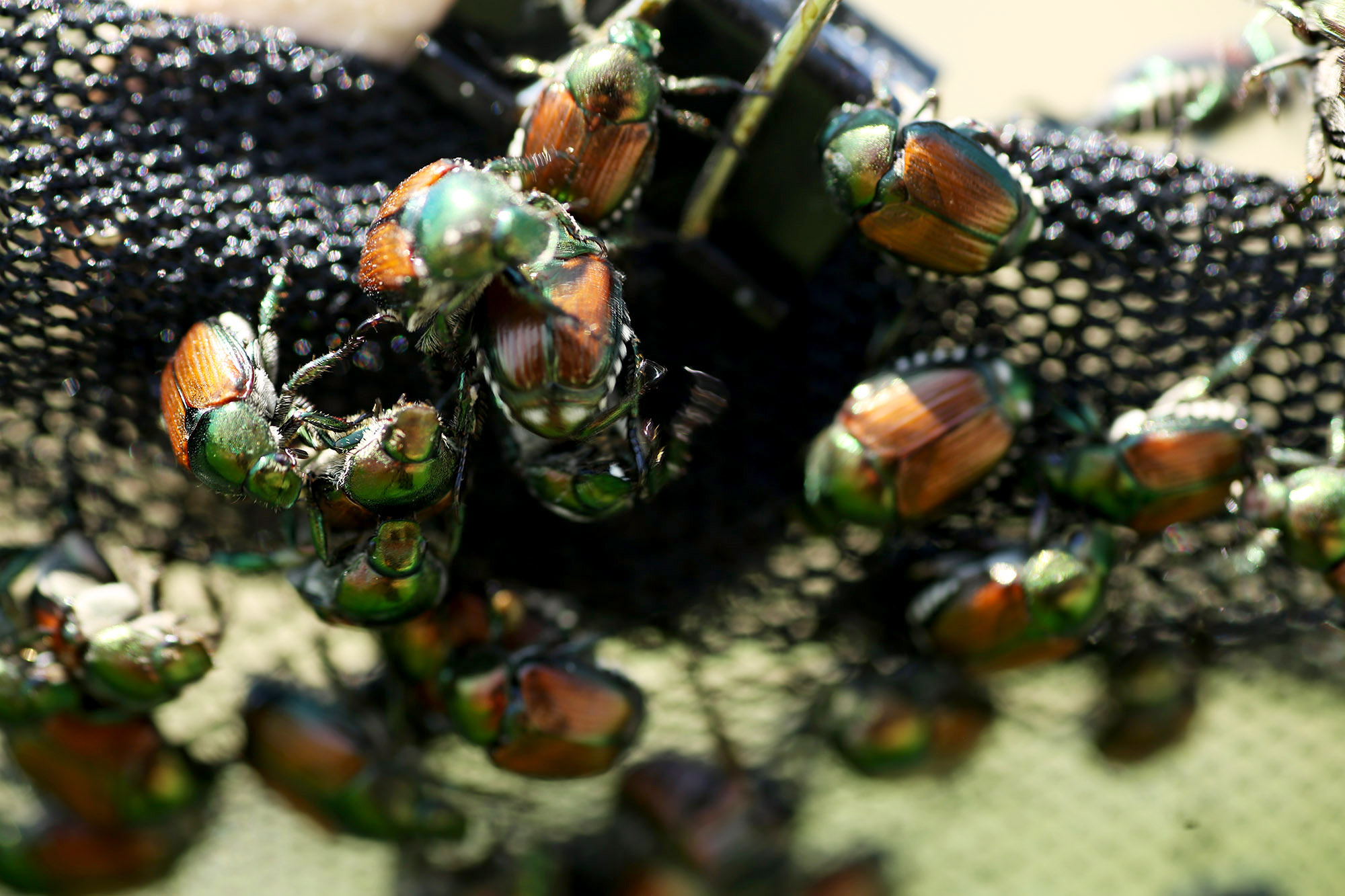 University of Missouri Extension entomologist Kevin Rice and his team of graduate students research the use of pyrethroid nets to control foliage-eating Japanese beetles.