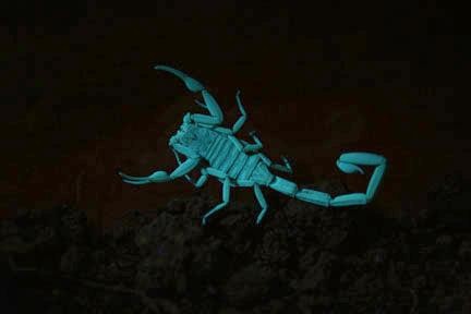 Arizona bark scorpion glowing under ultraviolet light. Public domain photo by Balexan Bryce Alexander via Wikimedia Commons.
