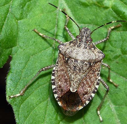 Closeup of a brown stink bug on a leaf
