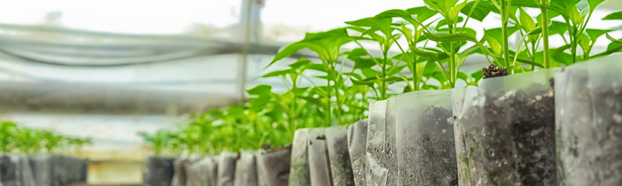 Small pepper plants in greenhouse for transplanting