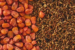 Close-up of corn and sorghum sudan grass seed