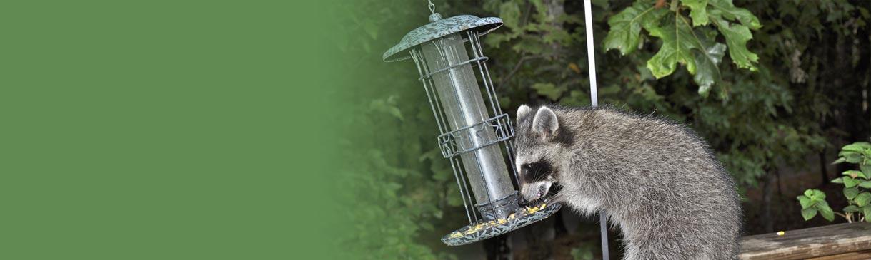 Closeup of a raccoon raiding a bird feeder