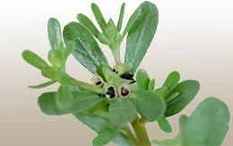 Purslane plant close-up