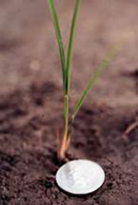 Closeup of rice plant at first tiller growth stage