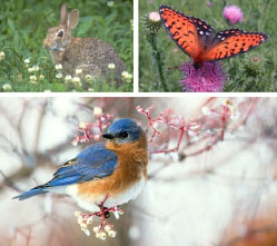 Close-ups going clockwise of a rabbit in a field, a butterfly on a flower and an eastern bluebird in a flowering tree