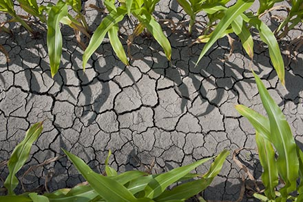 Corn that is drought stressed.