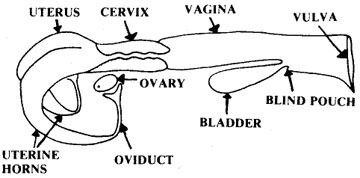 Reproductive tract of the cow