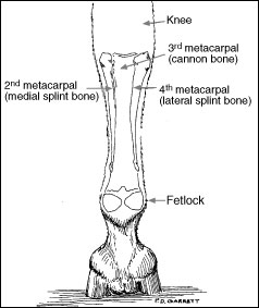 Right forelimb of horse (caudal view).