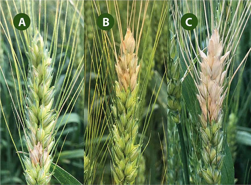 Three wheat heads with symptoms of Fusarium head blight: the first with only one spikelet affected, the next with about one-fourth of the head affected, and the last with about half of the head affected.
