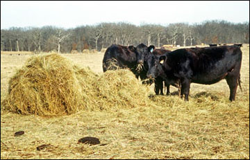 Losses can run as high as 50 percent if hay if not fed properly