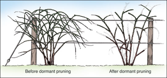 Train thornless, semierect blackberries to a two-wire trellis