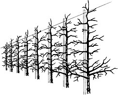 Apple trees on a vertical axis system