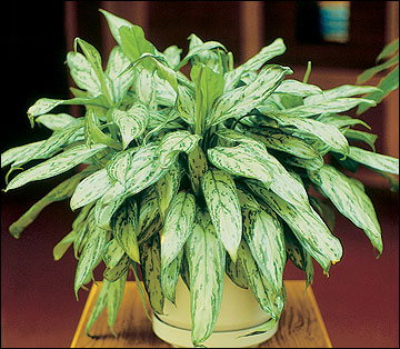Chinese evergreen is one of many foliage plants adapted to conditions in the home