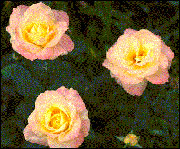the hybrid tea rose provides classic beauty with universal appeal.