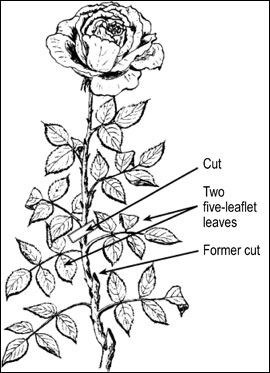 When cutting roses, allow at least two, five-leaflet leaves to remain on each shoot.