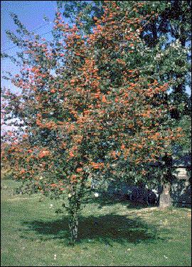 The Washington hawthorn