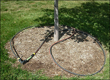 Irrigate a tree uniformly with a soaker hose