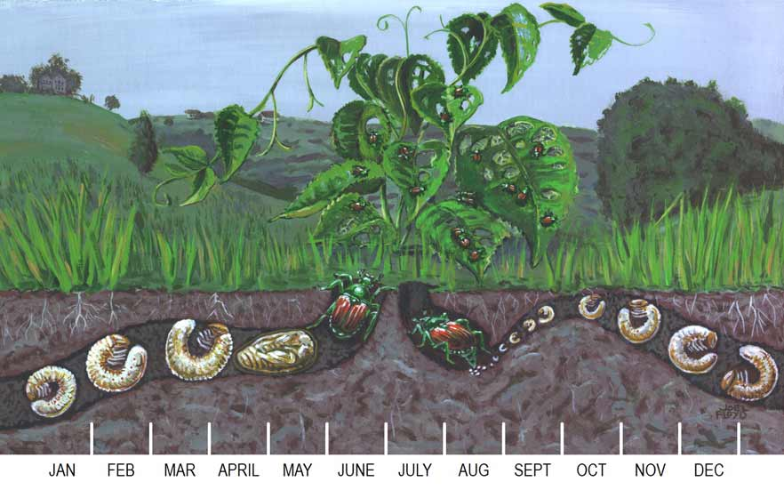 Illustration of the Japanese beetle life cycle.