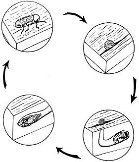 Wood-damaging beetles life cycle