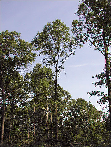These oaks were the dominant trees in the canopy