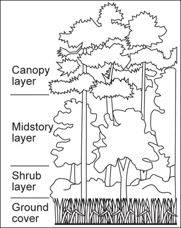 The vertical structure of a forest consists of four layers