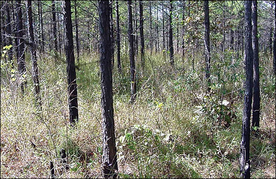 Thinning a stand of timber can improve the growth of the remaining trees