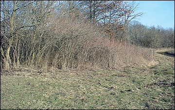 Patches of shrubs adjacent to fields provide excellent escape cover