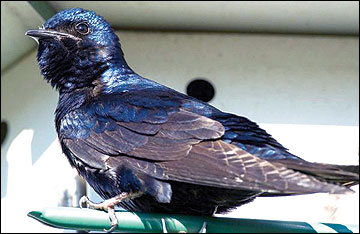 Male purple martin.