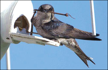 Female purple martin