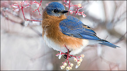 When overwintering in Missouri, bluebirds survive on fruits and berries