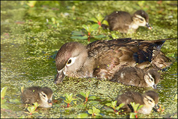 Female wood duck and ducklings feeding