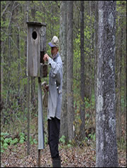 Check and maintain wood duck boxes each year