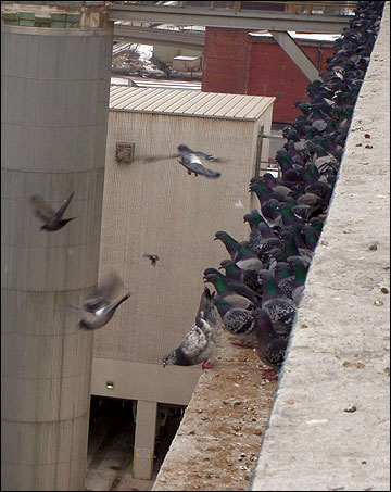 Pigeons can become a nuisance