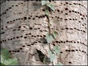 Sapsuckers excavate rows of holes