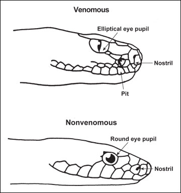 Identifying a poisonous snake by its pupils