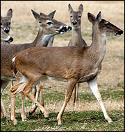 The color and thickness of a deer's coat changes with the seasons