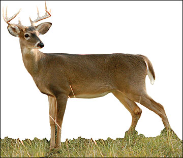 A 2-1/2 -year-old buck