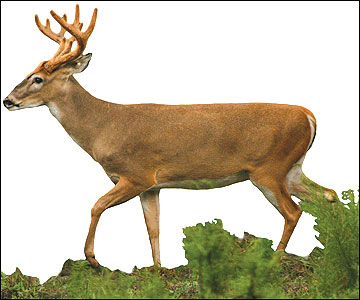 A 3-1/2 -year-old buck
