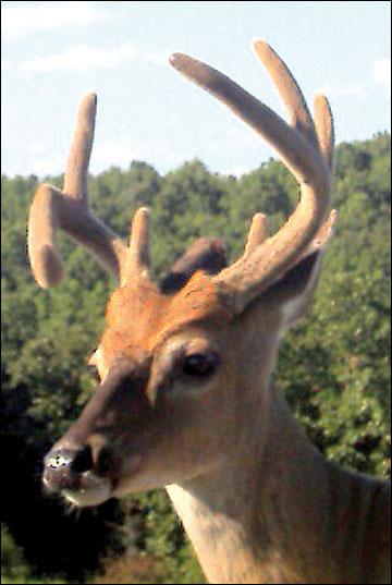 Deformed hardened antlers