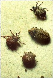 Weevils coexists