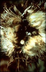 Flower head larvae