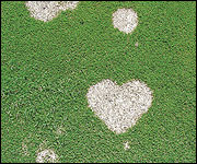 Ash gray appearance of older gray snow mold patches